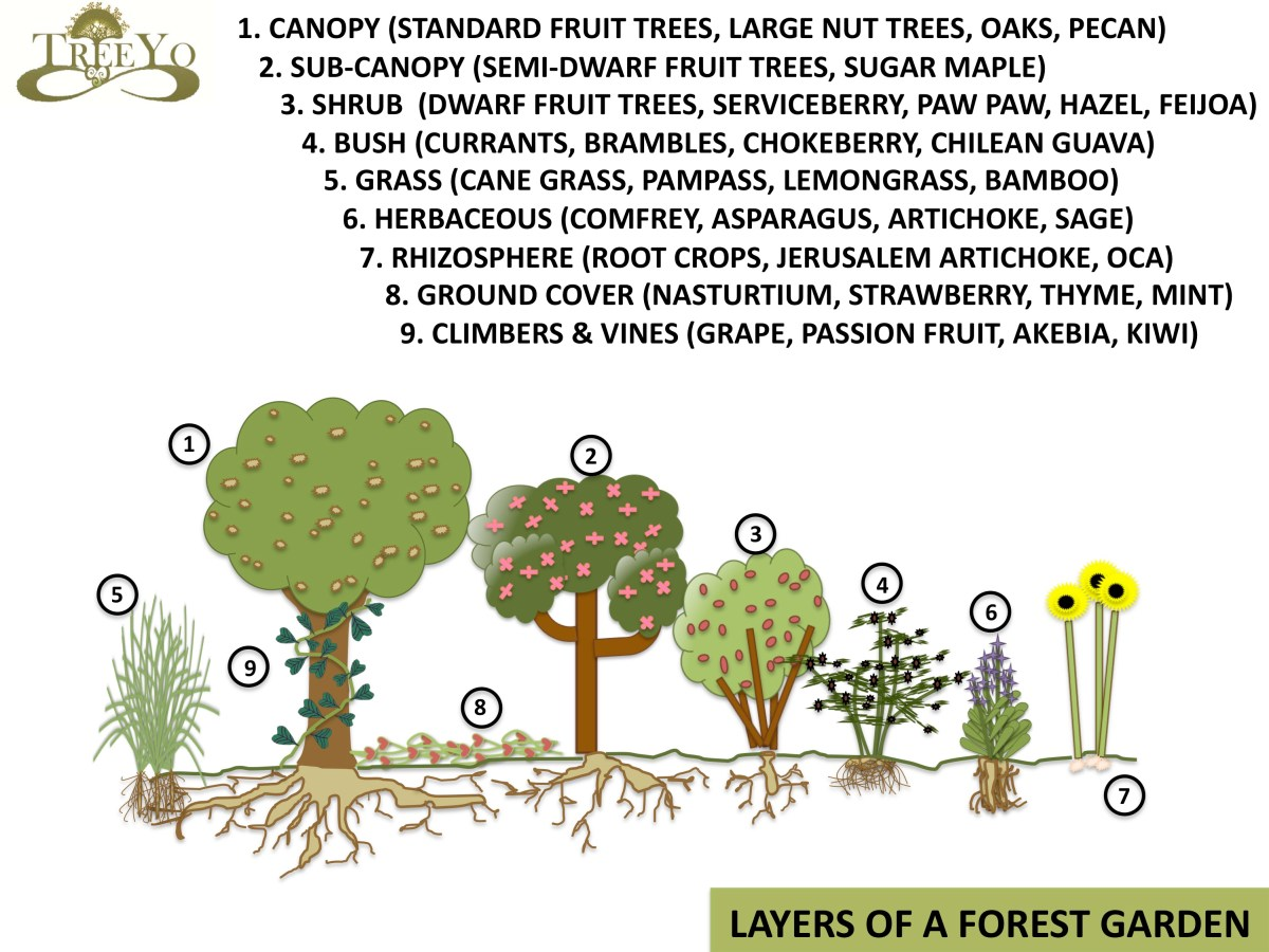 food forest or forest garden schematic drawing