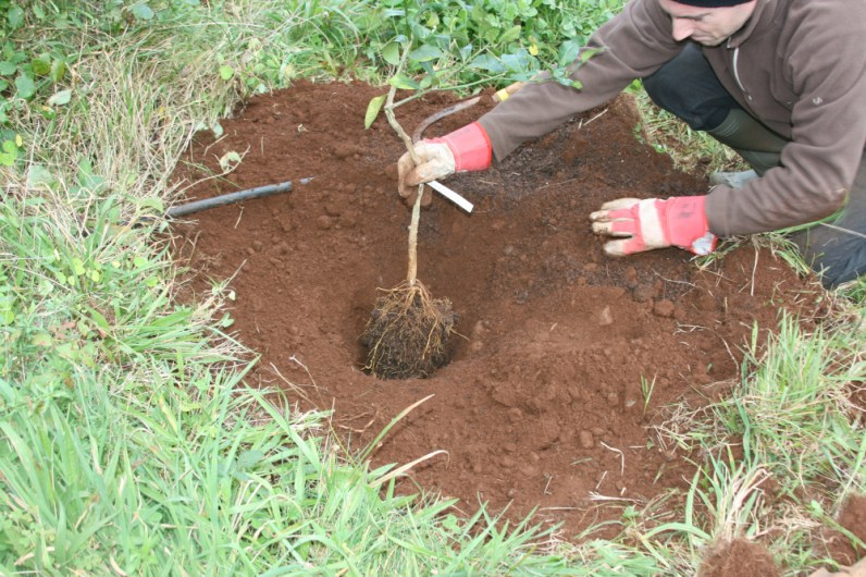 sod removal then a hole dug slightly bigger than the tree. shown testing the height of the hole.