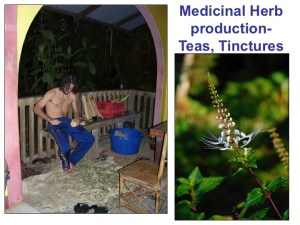 Author processing pau D'arco in Costa Rica 2006 for medicinal purposes