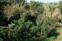 Downward look at camino das fadas, avocado and its guild dominating the landscape, nuclei merging with White Sapote behind
