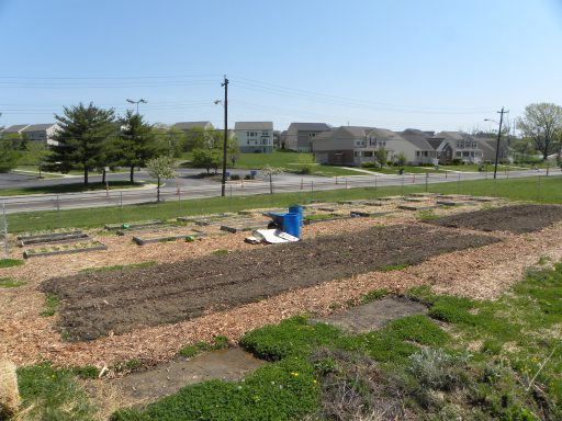 Raised bed at Bond Hill Urban greens plot, longer beds in foreground with no mulch to let them heat for summer crops and background cools season crops mulched