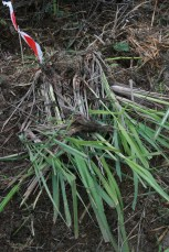 Plant propagation of lemongrass, Suryalila for Tamarillo Pit Garden Earthwork, Spain, 2016