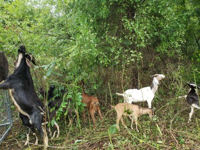 Goats tendency to climb a bit to get to forage, Treasure Lake, KY