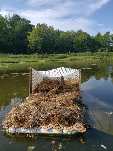 Cleaned duck island, fresh straw and eggs rearranged, Treasure Lake, KY