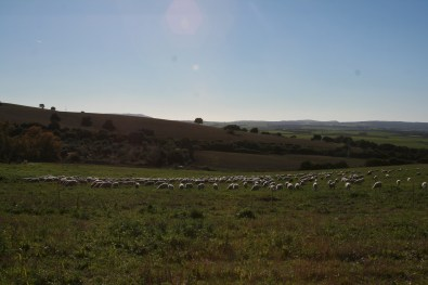 Shepherded Sheep spread out, Spain 2017