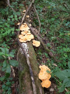 Chicken of the woods maturing