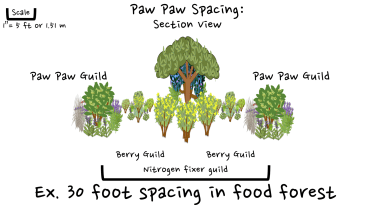 Paw Paw design food forest
