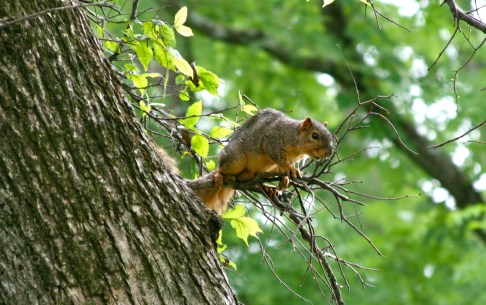 Squirrel in elm tree, treasure lake, KY