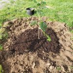 Compost after tree planting