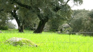 holm oak pasture from southern Portugal- mantado system of black pigs under the trees for acorn foraging