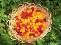 Salmonberry harvest