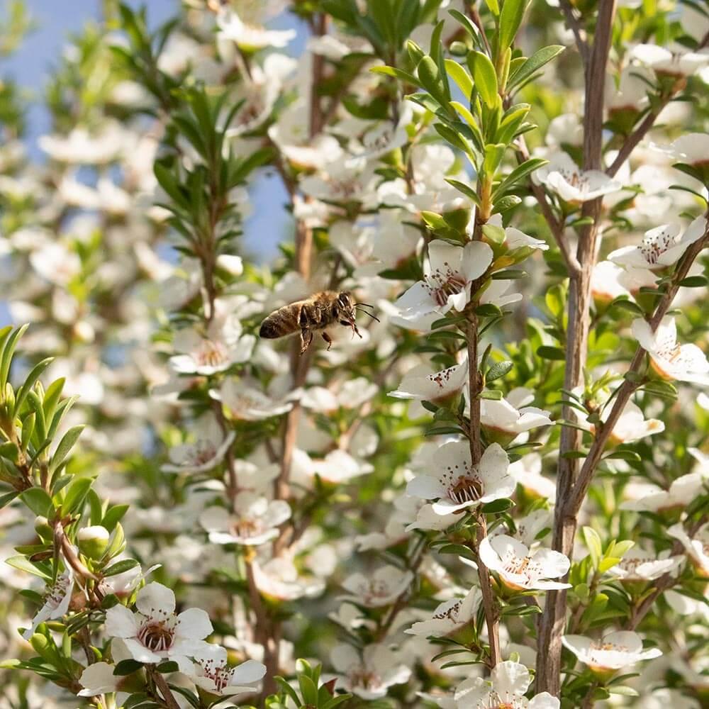 Bee Floral Manuka Bush
