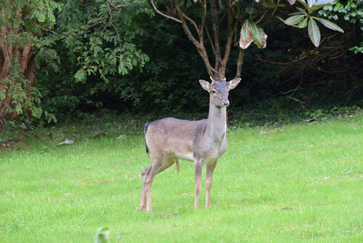 The deer at Fault photographed by one of our garden Team