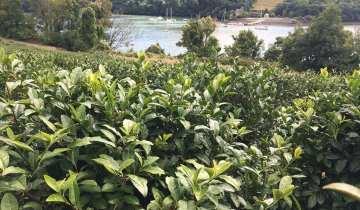 Tea & Orchard Tour