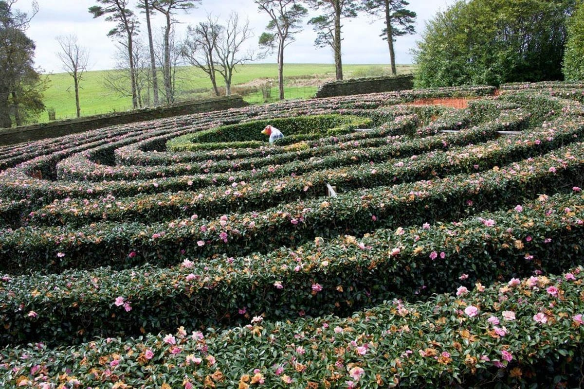 Tregothnans famous Camellia Maze located in the middle of Tregothnan Estate Gardens