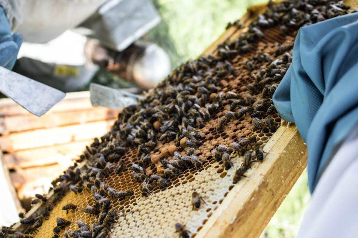 Our Tregotnan Honey Bees working in a hive