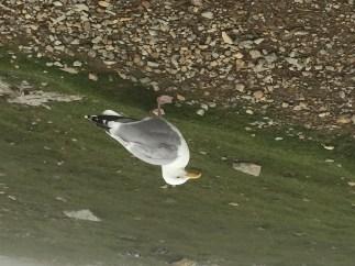 My friendly seagull
