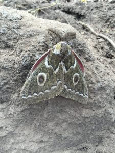 A ginormous moth