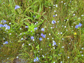 white sphere flowers Kaas plateau