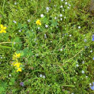Yellow white and blue flowers Kaas plateau