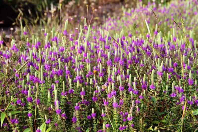 wild flowers harishchandragad