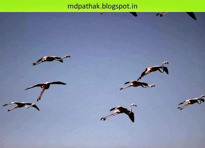Flamingos flying at bhigwan