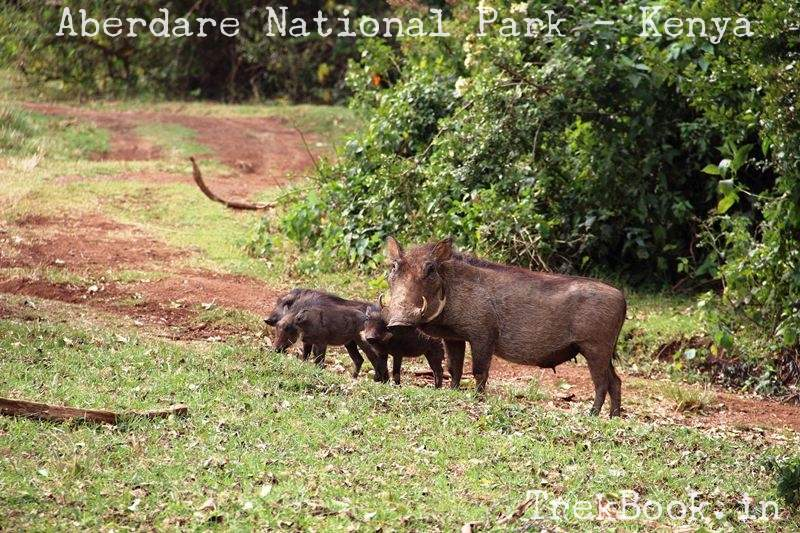 Warthog with babies - African Wildlife