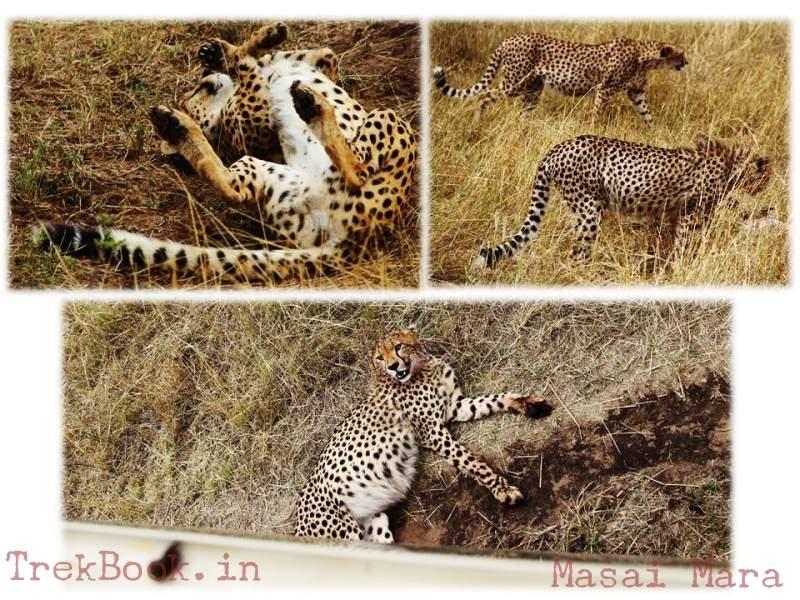 masai mara cheetahs poses