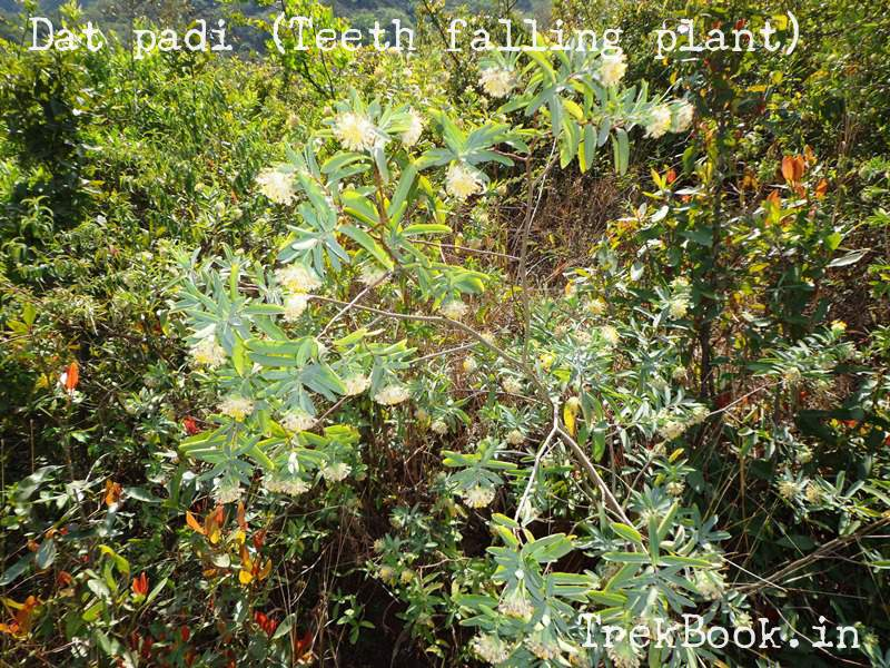 dat padi teeth falling plant