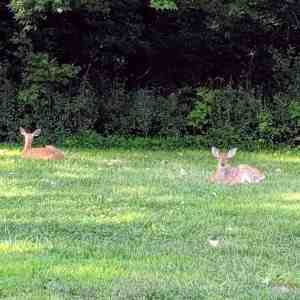 Two fawns lying in grass