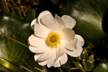 Mt Cook Lily closeup