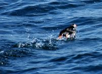 Puffins are a little ungainly taking off