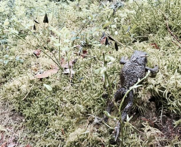 Liesjärvi, frog