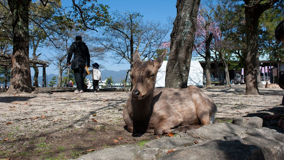 sika deer on Miyajima Island