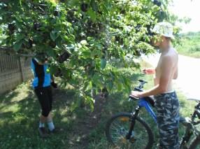 przerwa na śliwki prosto z drzewa w Bułgarii (2014)