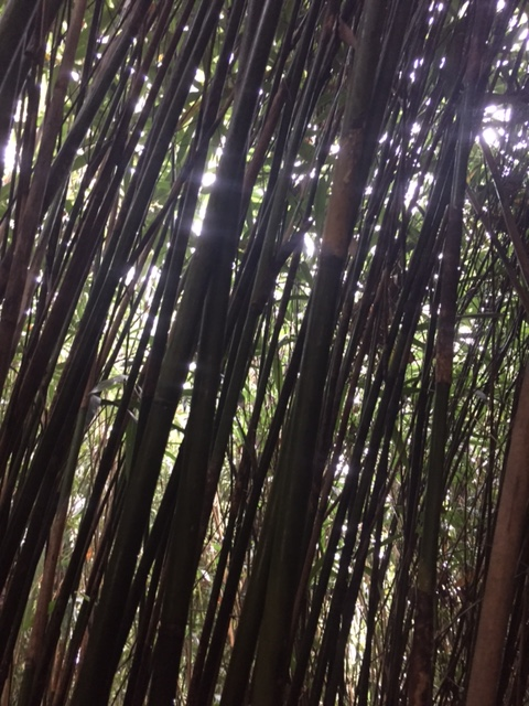 Dense forest of bamboo