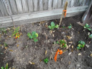 Some of my veggies have been in for a month but due to the cooler weather their growth has been stunted.