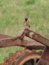 Stonechat on old rusty plough