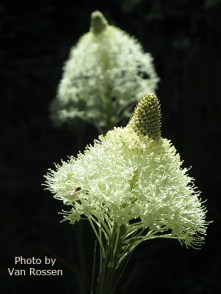 photo of Bear Grass flowers