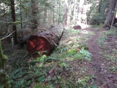 Another old growth tree that was clear from the trail several years ago.
