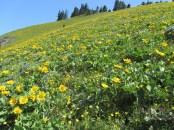 Balsamroot blooming hillside.