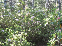 Lots of rhododendrons in bloom along the trail.