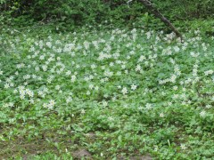 A nice patch of glacier lillies by the trail.