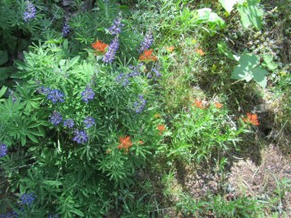 Lupine and Indian Paint Brush by the side of the trail.