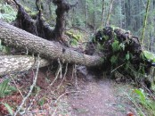 Big trees and root balls blocked the trail.