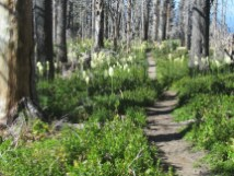 This on area along the trail we caught the bear grass at its peak.