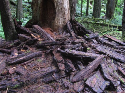 A large pile of bark that had fallen from a dead tree.