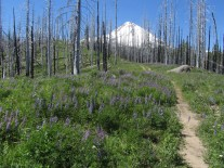 Mt. Hood through the ghost forest.