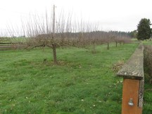Apple orchard with ancestor apple stock.