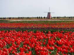 Tulip_DSCF1235